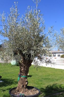 Olivenbaum Olea Europeas