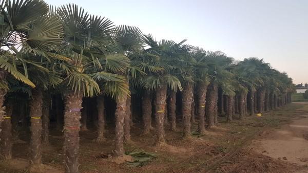 Hanfpalmen Trachycarpus Fortunei Gesamthöhe Palme ca. 300-400 cm Stammhöhe ca.200-220 cm