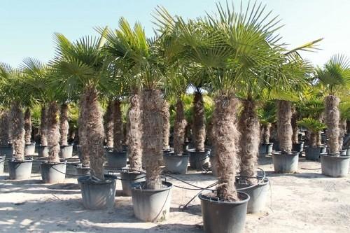 Hanfpalmen Trachycarpus Fortunei Gesamthöhe Palme ca. 200-260 cm Stammhöhe ca. 140-160 cm