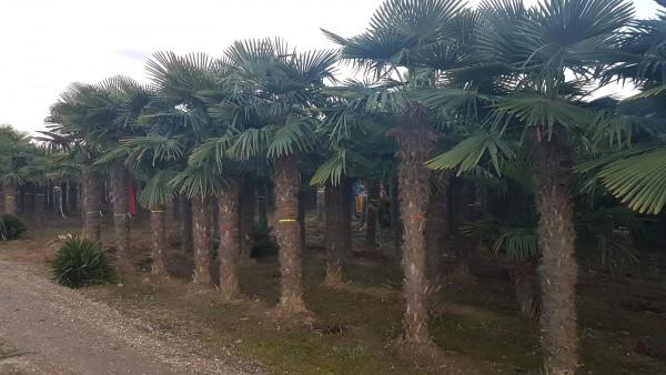 Hanfpalmen Trachycarpus Fortunei Gesamthöhe Palme ca. 400-500 cm Stammhöhe ca. 250-28