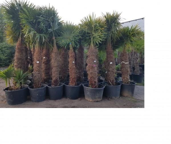 Hanfpalmen Trachycarpus Fortunei Gesamthöhe Palme ca. 220-280 cm Stammhöhe ca. 140-16