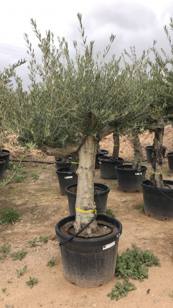 Abholung-Olivenbaum Olea Europea Gesamthöhe ca. 225-250 cm, leicht knorrig Frosthart