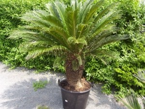 Cycas Revoluta Stamm 50-60cm