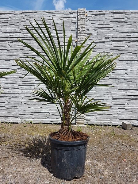 Hanfpalmen Trachycarpus Fortunei Gesamthöhe Palme ca. 80-90 cm, Stammhöhe ca. 10-15 cm