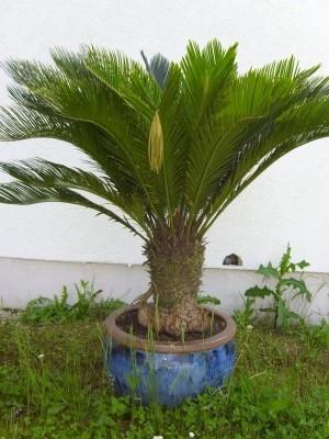 Cycas Revoluta Stamm 30-40cm