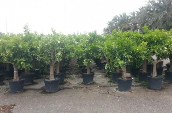 Orangenbaum Citrus sinensis