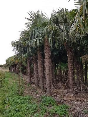 Hanfpalmen Trachycarpus Fortunei Gesamthöhe Palme ca. 350-430 cm Stammhöhe ca. 220-240 cm