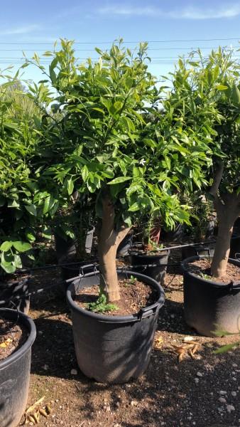 Citrus Mandarinenbaum Citrus reticulata, naranjo ca. 200 cm STU 30-40 cm