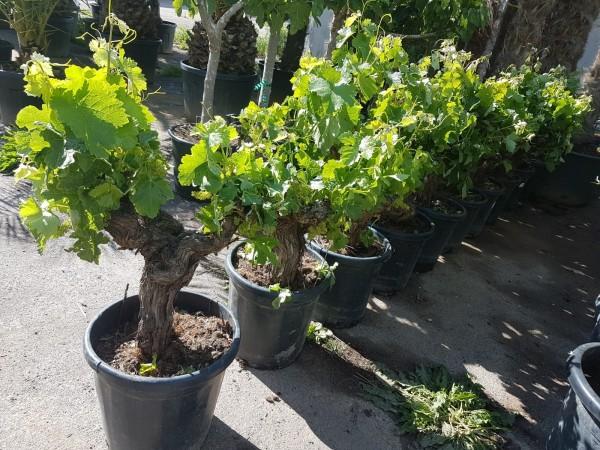 Vitis Vinifera Weinstock ca. 80-100 cm knorrige Weinrebe Weintraube Wein Traube