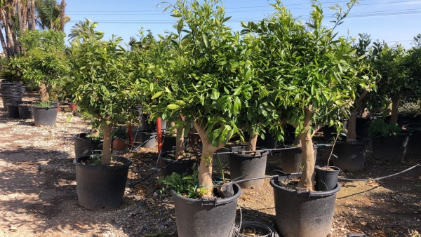 Orangenbaum Citrus sinensis, naranjo Stammumfang 30-40 cm Höhe ca. 200 cm