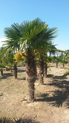 Hanfpalmen Trachycarpus Fortunei Gesamthöhe Palme ca. 300-400 cm Stammhöhe ca.190-220 cm