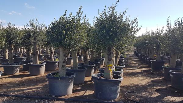 Olivenbaum Olea Europea ca.160-190 cm ca. 50 Jahre alt, leicht knorrig Frosthart