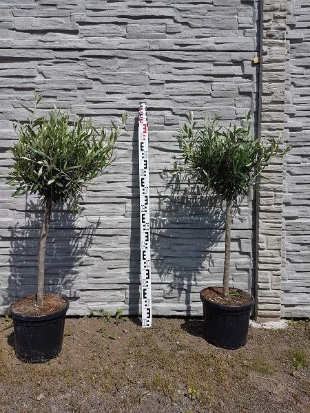 Olivenbaum Olea Europeas Gesamthöhe ca. 100 cm