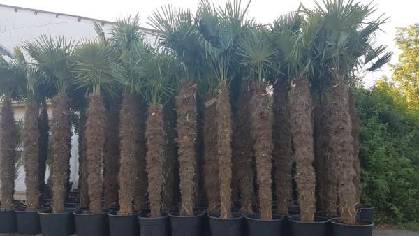 XXL Hanfpalmen Trachycarpus Fortunei Gesamthöhe Palme ca. 350-400 cm Stammhöhe ca.200