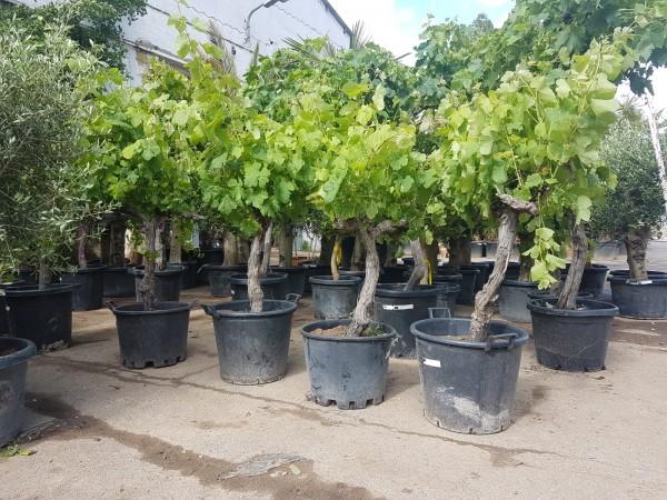 Vitis Vinifera Weinstock ca. 140-160 cm knorrige Weinrebe Weintraube Wein Traube